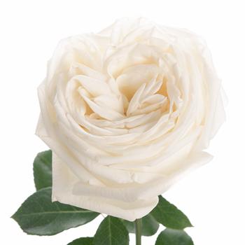 ivory-white-garden-rose-jeanne-moreau-350_c007ef77